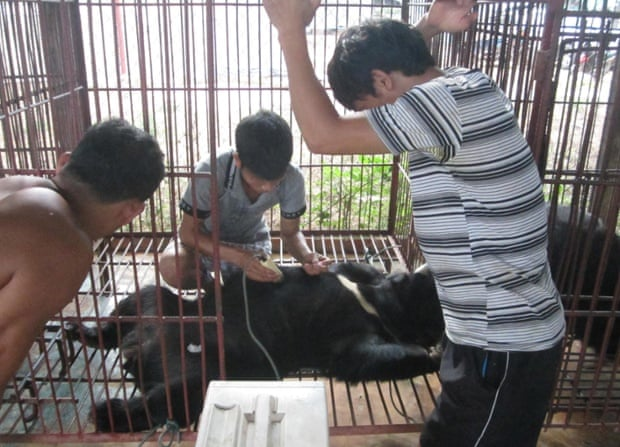 Workers extract bile from a captive bear in Savannahket, Laos. Conditions are often unsanitary.