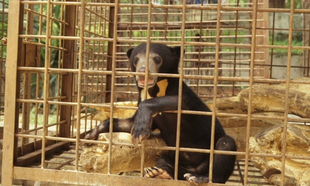 A sun bear, the world's smallest bear, in a bile farm.