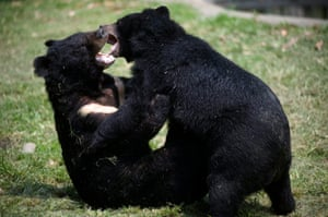 Two moon bears play at Asia Black Bear Rescue Center in Longqiao Township of rural Chengdu city in 2011. The center was founded by Animals Asia on December 2002 that aimed at ending bear farming and the trade in bear bile.