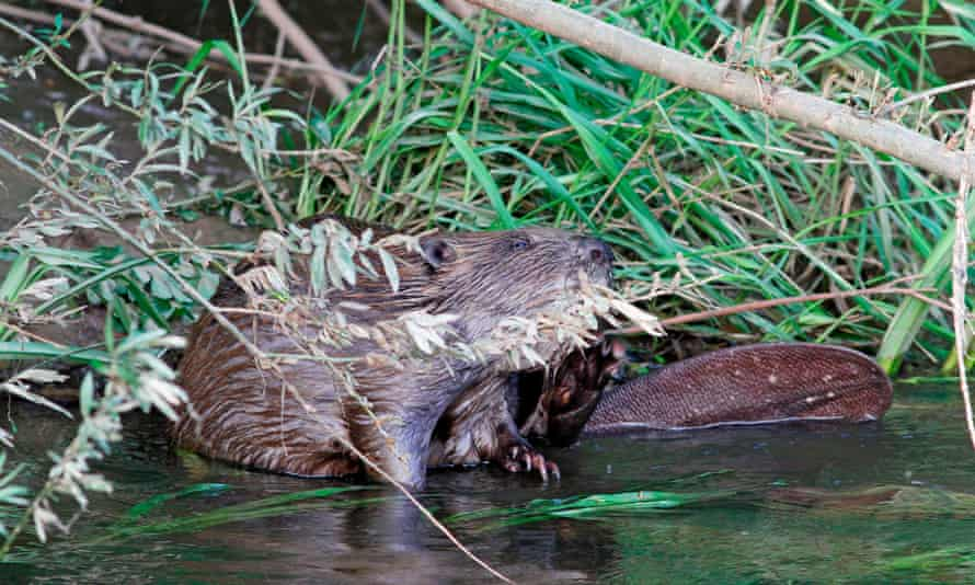 A beaver on the River Otter in Devon, England