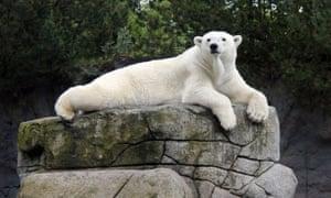 Victoria polar bear
