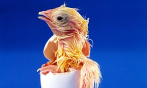 A hatching chick.
