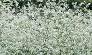 Crambe cordifolia (flowering seakale)