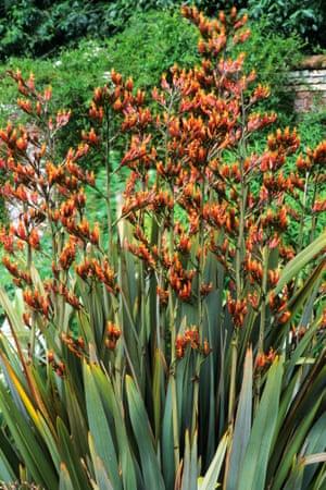 Phormium tenax in flower