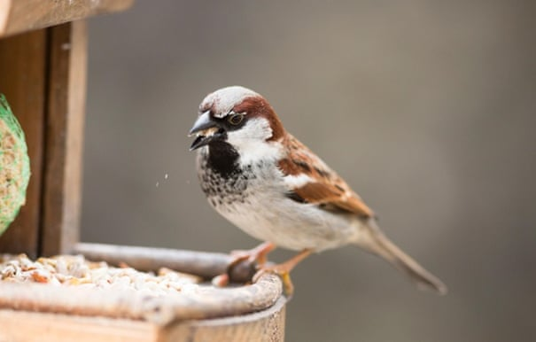 House sparrow with suet pellet in bill on bird feeder