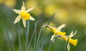 Wild daffodils (Narcissi pseudonarcissus).