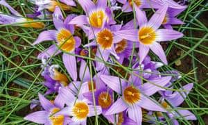 Gardens: Romulea clusiana