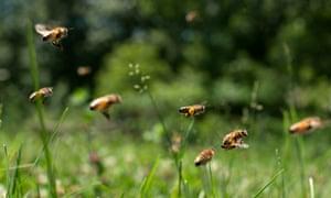 Carniolan honey bees fly near hives