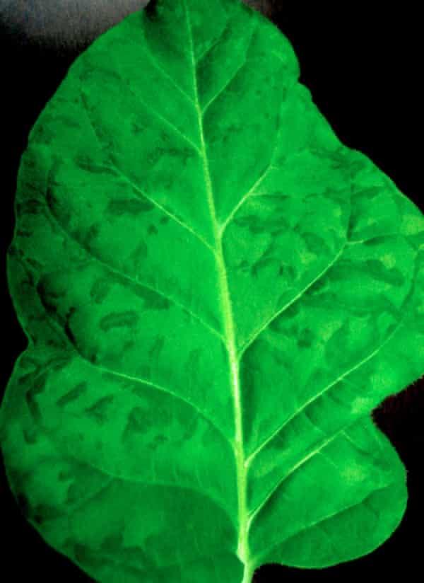 Leaf with tobacco mosaic virus