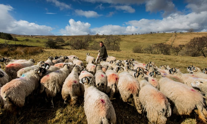 James Rebanks Twitters Favourite Shepherd Sheep Farming Is Another Form Of Culture Just Like Picasso Or Punk
