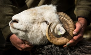 One of James Rebanks' flock of 450 Herdwick sheep – a tough mountain breed synonymous with the Lake District.