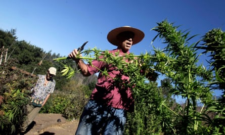 Mike Corral cuts branches from a marijuana plant as he prepares a harvest in Davenport, California. Marijuana farming can be challenging to regulate, due to its tenuous legal status.