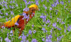 A golden pheasant walks among bluebells at Kew Gardens in west London.