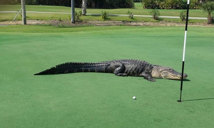 12ft Florida Alligator Becomes A Golf Course Celebrity But He S Not Alone World News The Guardian