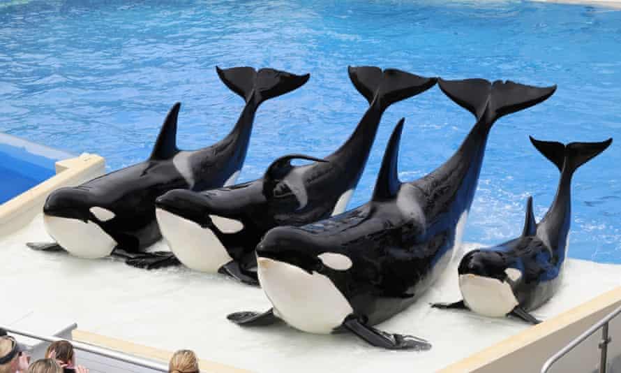killer whales at SeaWorld San Diego