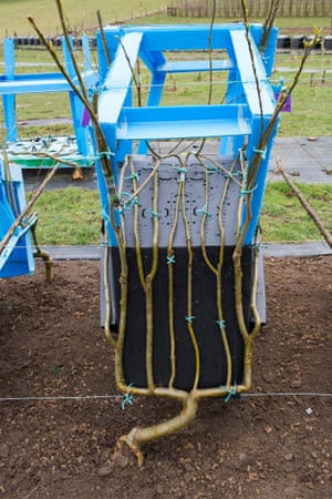A tree growing through one of Full Grown's mould frames. It can initially take four years to grow a chair.