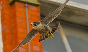 The Belper peregrine falcon in flight, before it was shot and killed