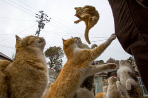 A cat jumps for food offered by a tourist as other cats beg for food