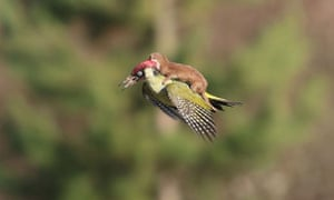 Can it be real? The amazing image of a woodpecker flying with weasel on its back taken by Martin Le-May.