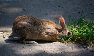 bunny rabbit eating grass