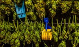 Cannabis plants. But how strong are they?