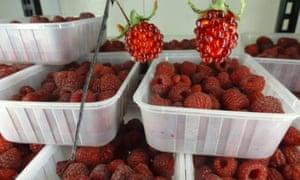 Local raspberries at Christmas Hills Raspberry Farm & Cafe.