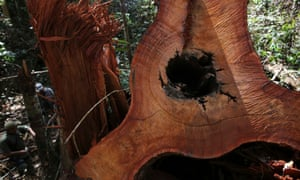 An felled tree in the Amazon rainforest, Para State, Brazil