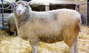 Dolly the sheep.