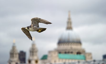 Peregrine Falcon in London (with Saint Paul in background)
