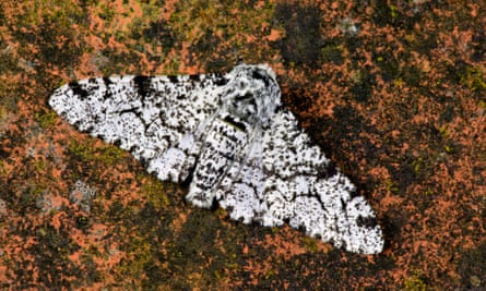 Peppered moth Bliston betularia at rest on leaf potton bedfordshire.