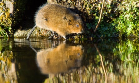 Water vole, Arvicola terrestris, on an urban canal bank in Derbyshire, England.