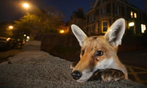 A young fox in Bristol.