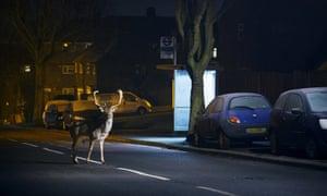 Fallow deer buck crossing a road in London.
