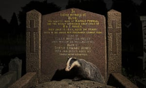 A young European badger emerges from beneath a gravestone in Bristol.
