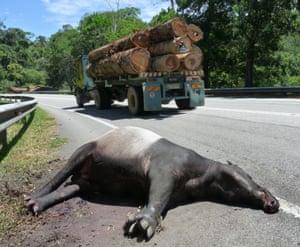 A road-killed tapir in Peninsular Malaysia