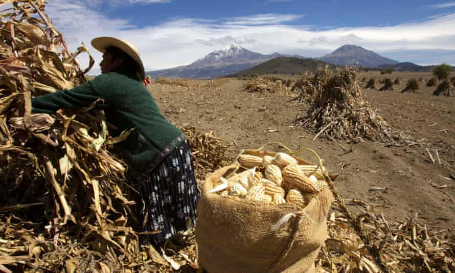 A woman harvesting maize below the Orizaba volcano in Mexico.