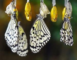 Tree Nymph butterflies emerge from golden pupas in Fukuoka, Japan