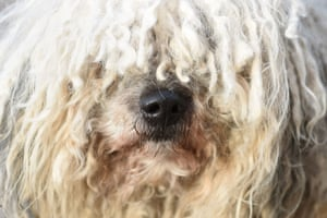 A Hungarian Puli arrives for day two of Crufts at the NEC