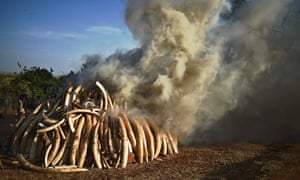 A burning pile of 15 tonnes of elephant ivory seized in Kenya. Photograph: Carl de Souza/AFP/Getty I