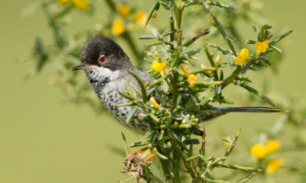 A male Cyprus Warbler.