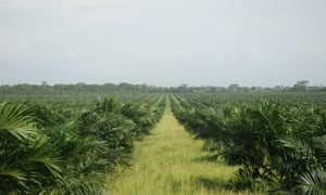 Four oil palm plantations connected to the same company, Palmas del Espino, are proposed in the northern Peruvian Amazon.