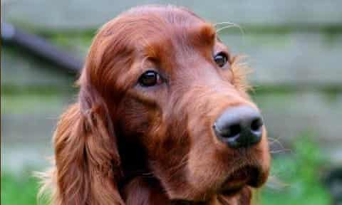The Irish setter, Thendara Satisfaction, better known as Jagger, who died in Belgium after returning from Crufts