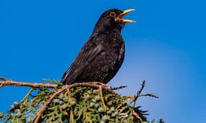 Male blackbird singing on a branch