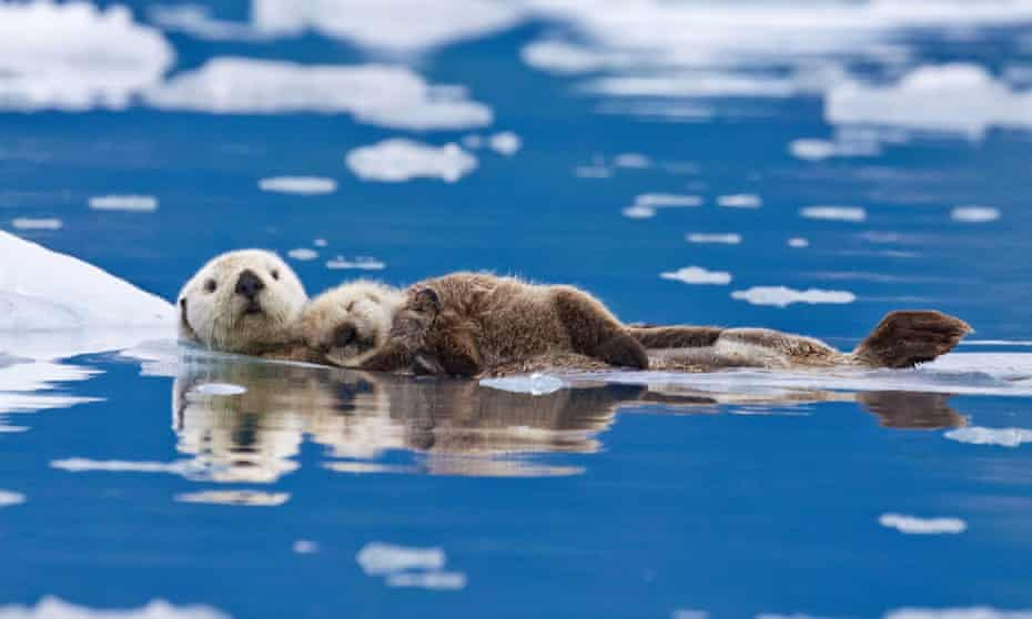 A mother sea otter with a baby on her chest in Alaska.