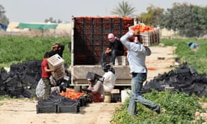 Syrian workers living in Jordan work on a tomato farm in Shouneh. Varying degrees of drought are hitting almost two thirds of the limited arable land across Syria, Lebanon, Jordan, the Palestinian territories, and some researchers say it's contributing to conflict.