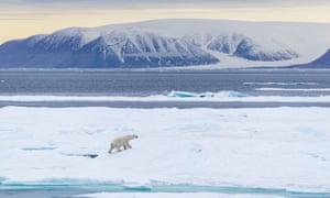 Polar bear in the Canadian High Arctic