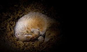 Arctic Ground Squirrel (Spermophilus parryii) hibernating in burrow, Fairbanks, Alaska