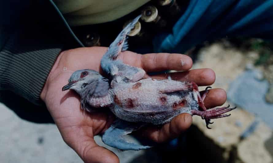Turtle dove shot
