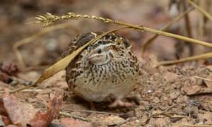 A quail