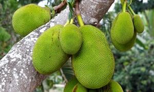Jackfruit on the tree.